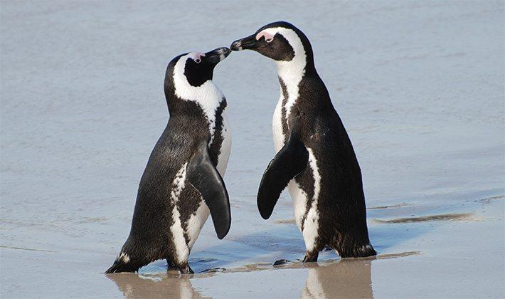 Pinguin voorspelt Engelse bekerwinnaar